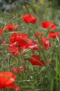 Poppies in Spain